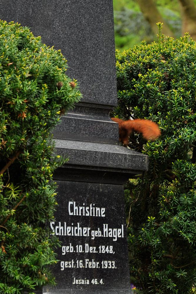 Eichhörnchen  Heilbronner Hauptfriedhof
