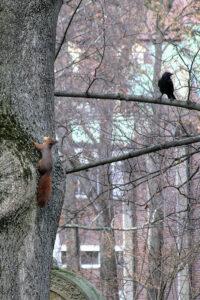 Eichhörnchen und Rabe auf dem Hoppenlaufriedhof Stuttgart