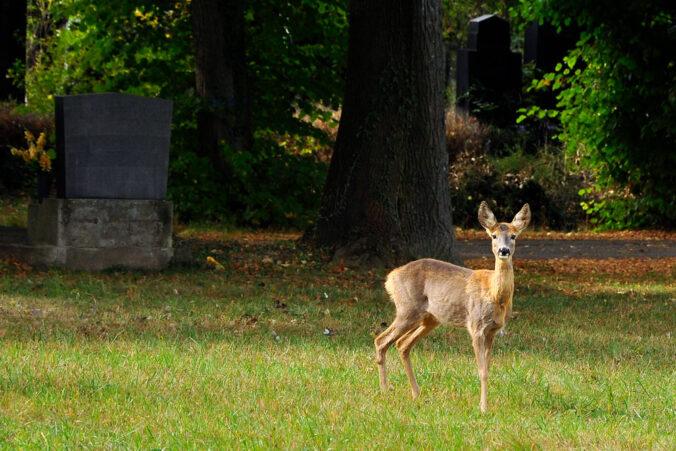 Reh, Zentralfriedhof Wien